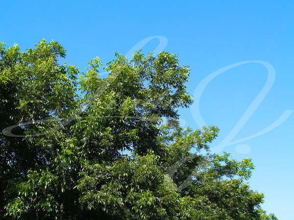 Top branches of a pecan tree against a bright blue sky with copy space.
