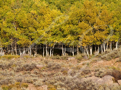 Aspen Grove--Grove of Aspen trees with yellow fall leaves.