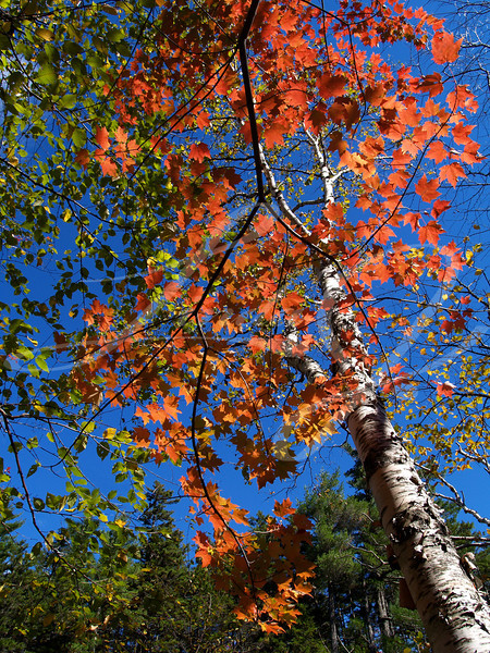 Beautiful fall colored maple leaves, next to an aspen tree trunk, beneath a deep blue sky in Colorado.